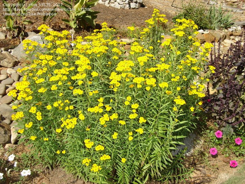 Texas tarragon tagetes lucida also known as mexican for Grow landscapes christchurch