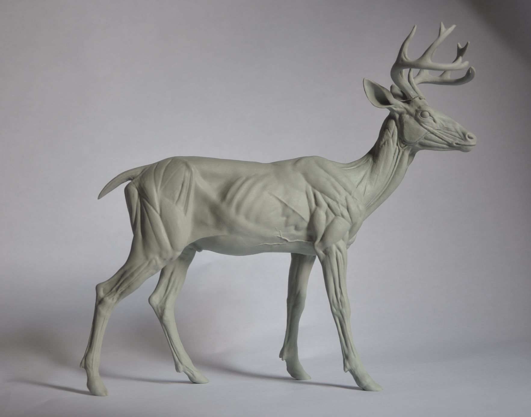White-tailed Deer Anatomy Study | fine. ART | Pinterest | White ...