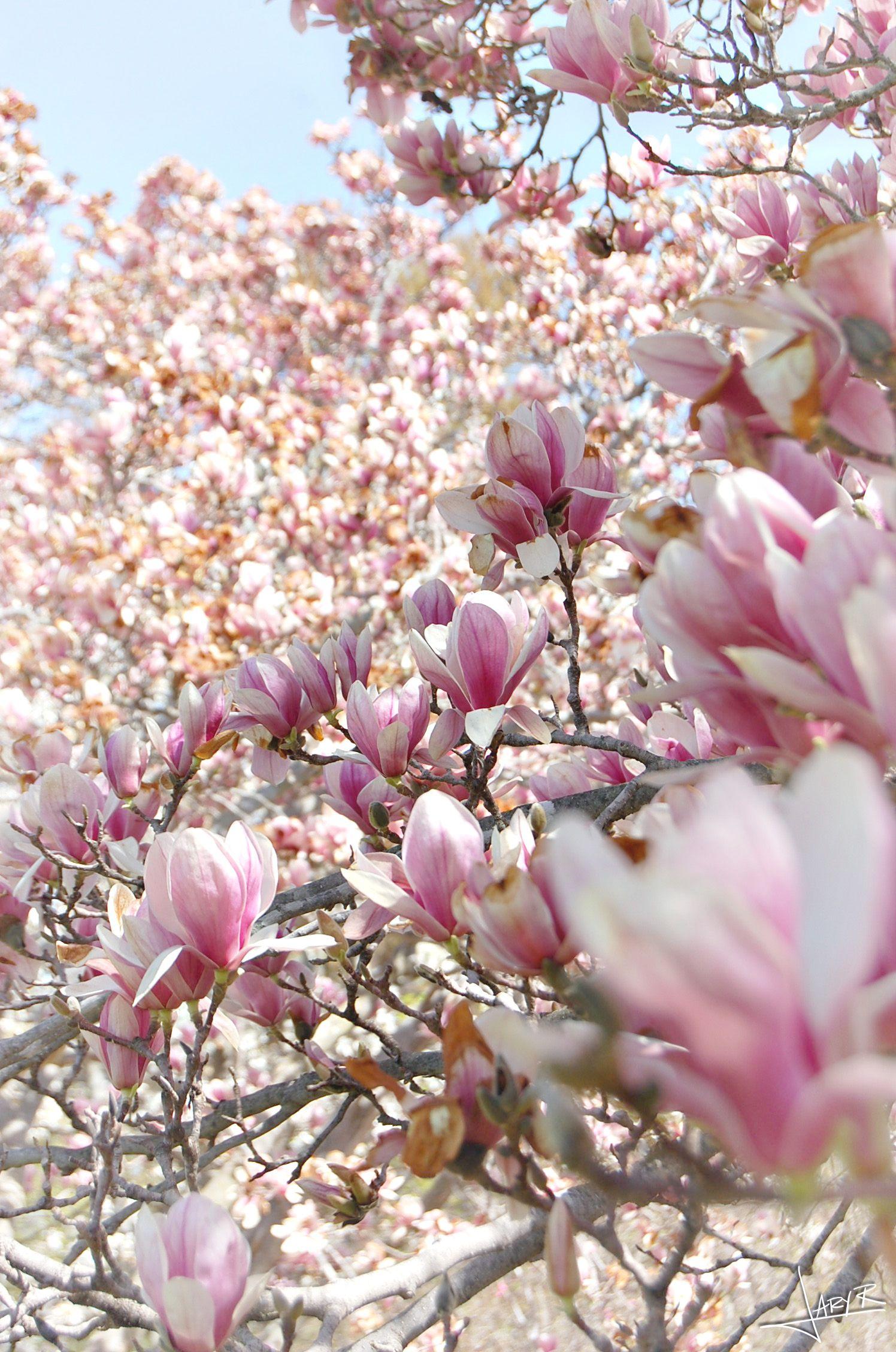 Uw Arboretum Magnolia Trees Inspiration Nook Magnolia Trees