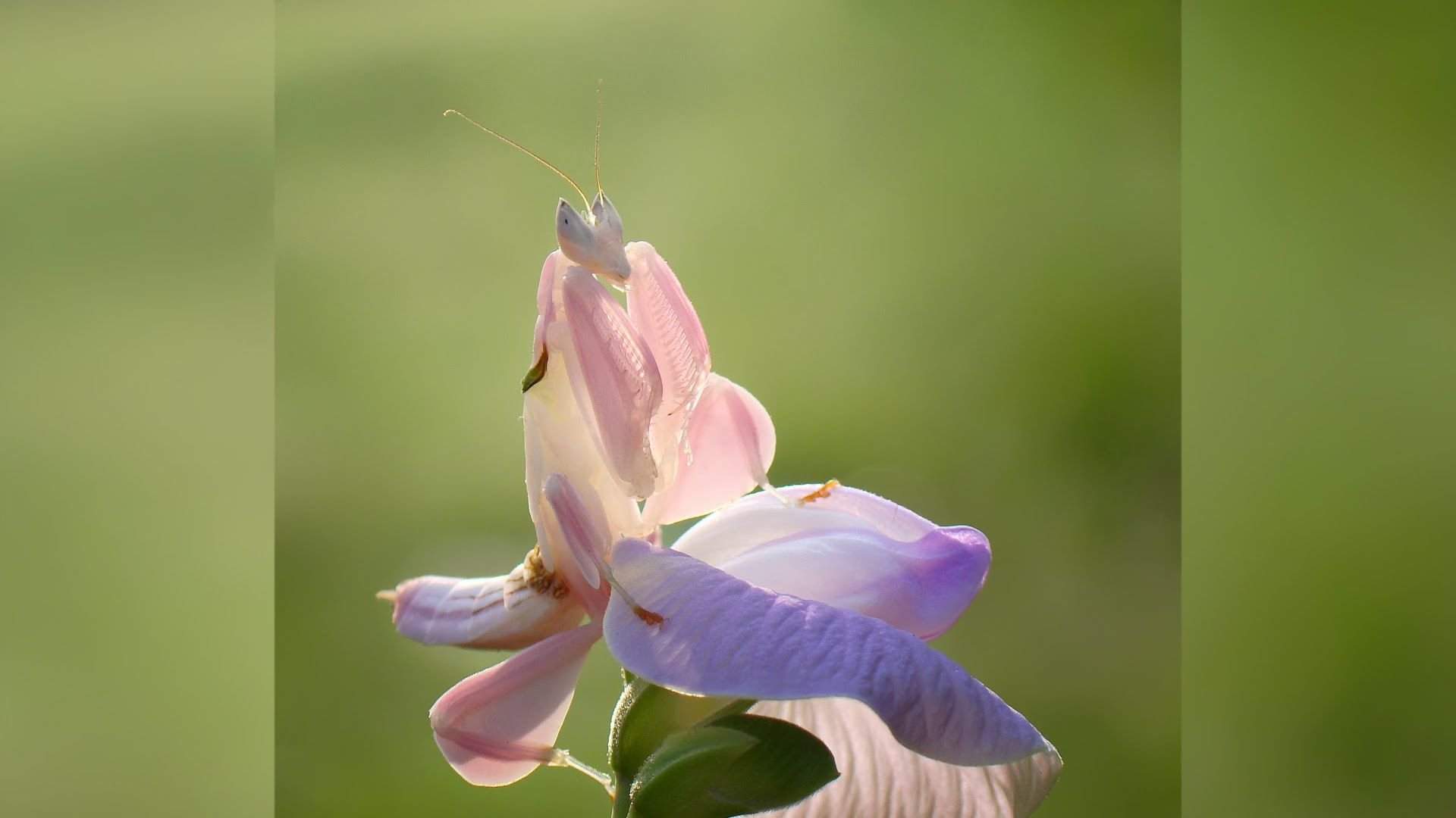 Insect Or Flower This Bug Is A Master Of Deception Orchid Mantis Orchids Flowers