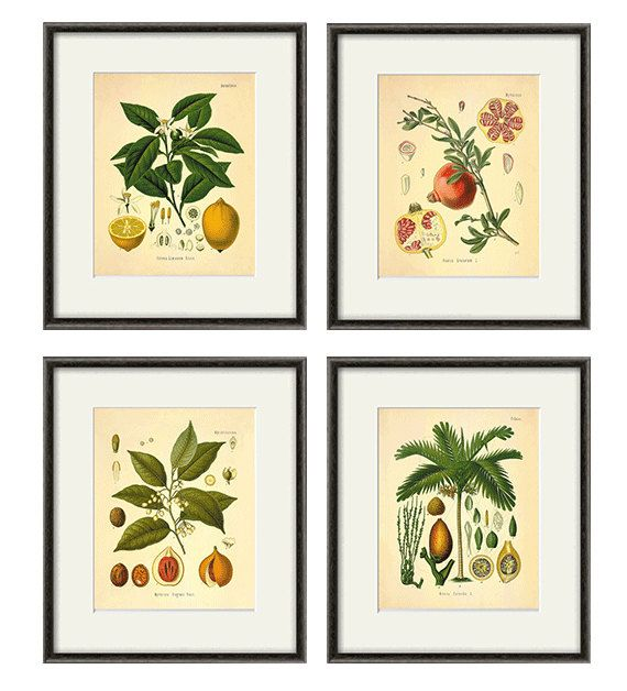 Antique Kitchen art print antique botanical print set Fruit art print kitchen poster kitchen decor wall antique wall art Fruit wall decor  This gorgeous botanical illustration by Herman A. Kohler is from a series of hand colored litographs. It comes from the 1887 German book of Medicinal Plants This print is digitally enhanced with some odd blemishes left to enhance its antique look.  -------------------------------------------------------------------------------------------  To see all…