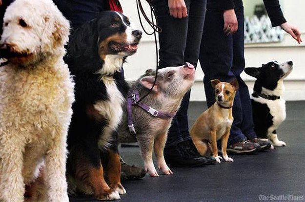 This Adorable Pig Is Putting All The Dogs To Shame At Obedience