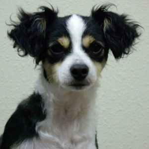Click For Info On The Chi Poo Chipoo Chihuahua Poodle Mix