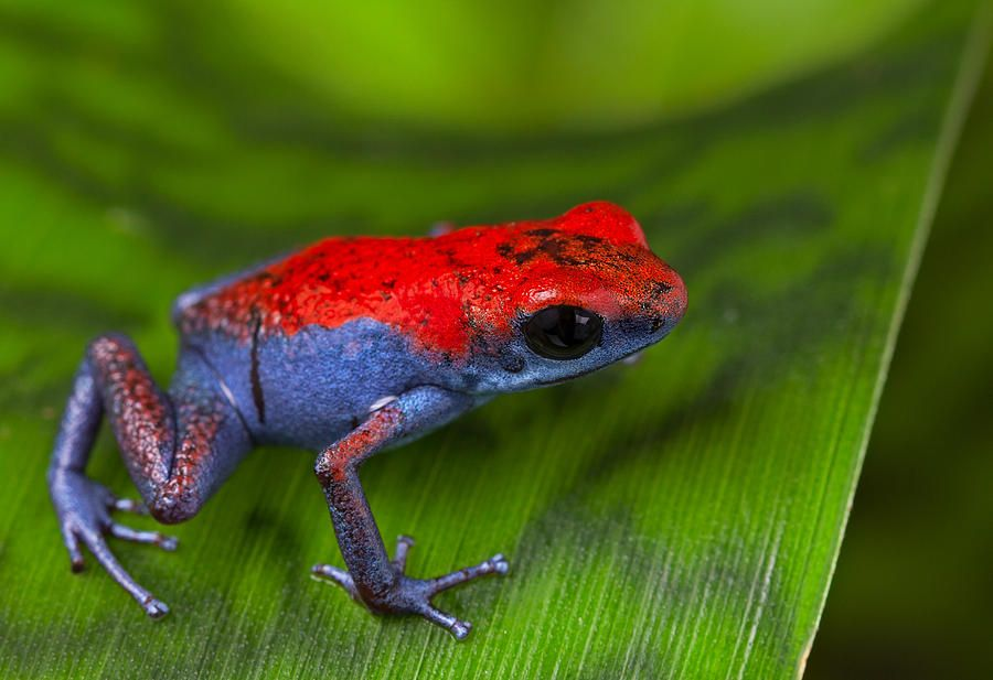 poison dart frog Escudo Photograph ArtistDirk ErckenMediumPhotographDescriptionfrog red and blue amphibian poisonous animal of tropical rain forest Panama Isla Escudo strawberry poison dart frog Oophaga pumilio