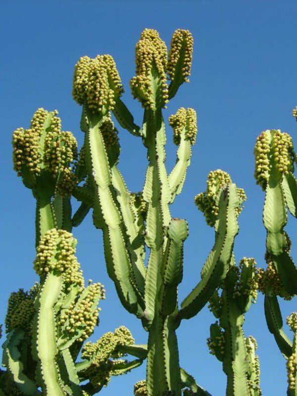 Euphorbia Ingens Candelabra Tree Cactus Plants Succulents Plants