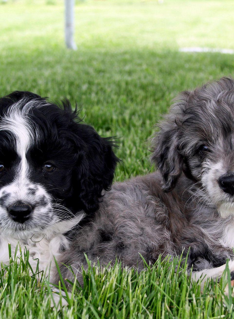 Aussiedoodle puppies for sale. Doodle puppies, cross