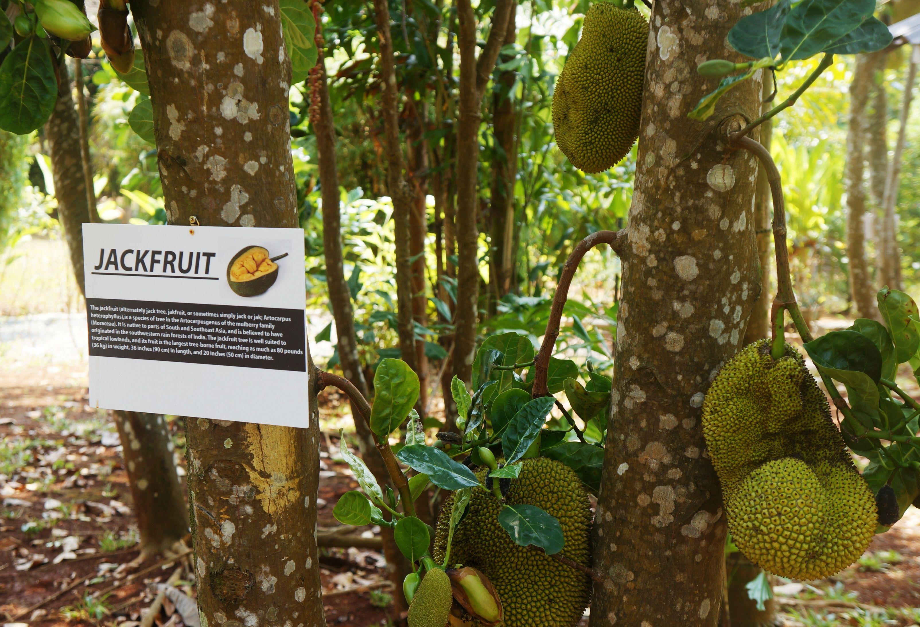 Jackfruits in the Garden of Good Time Resort   Good Time Garden ...