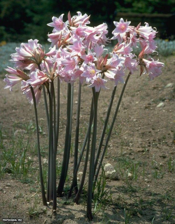 Belladonna lily amaryllis belladonna fragrant perennial blooms belladonna lily amaryllis belladonna fragrant perennial blooms late summer early fall mightylinksfo