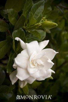 Everblooming Gardenia Gardenia Jasminoides Veitchii Highly