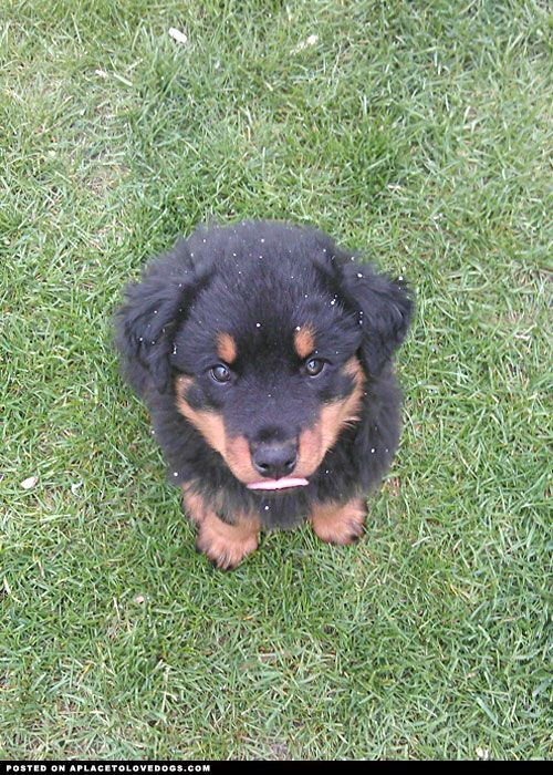 Rottweiler Puppy I Really Want One They Are So Handsome And So