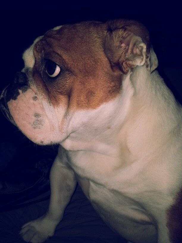 Lola, my English Bulldog, is waiting for her evening cuddle.
