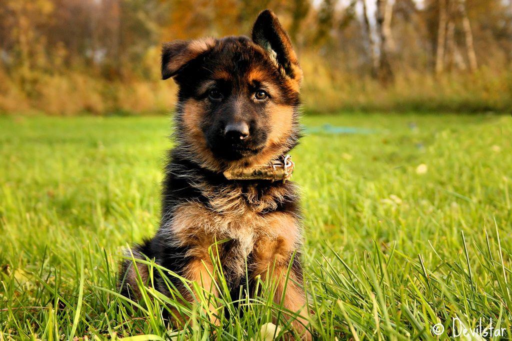 German Shepherd puppy (mit Bildern) Schäferhund welpen