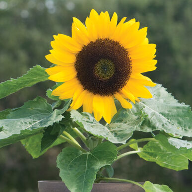 Sunny Smile F1 Sunflower Seed Johnny S Selected Seeds Dwarf Sunflowers Plants Live Plants