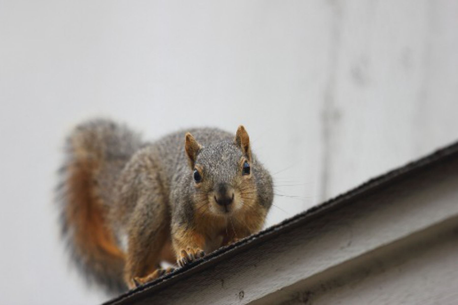 Fall is the time of year when squirrels aggressively start