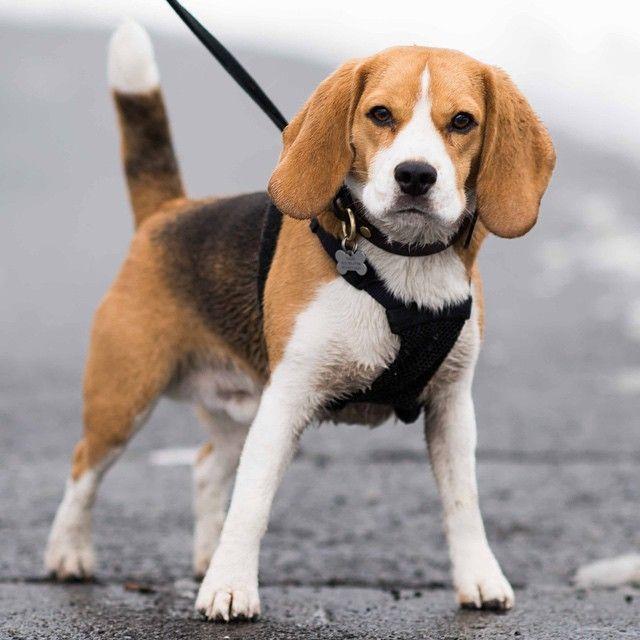 Dash Beagle 3 Y O Central Park New York Ny The Dogist