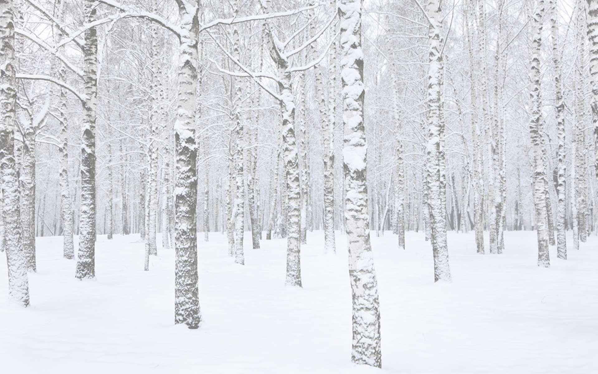 Silver Birch In Snow Google Search Tree Wall Murals