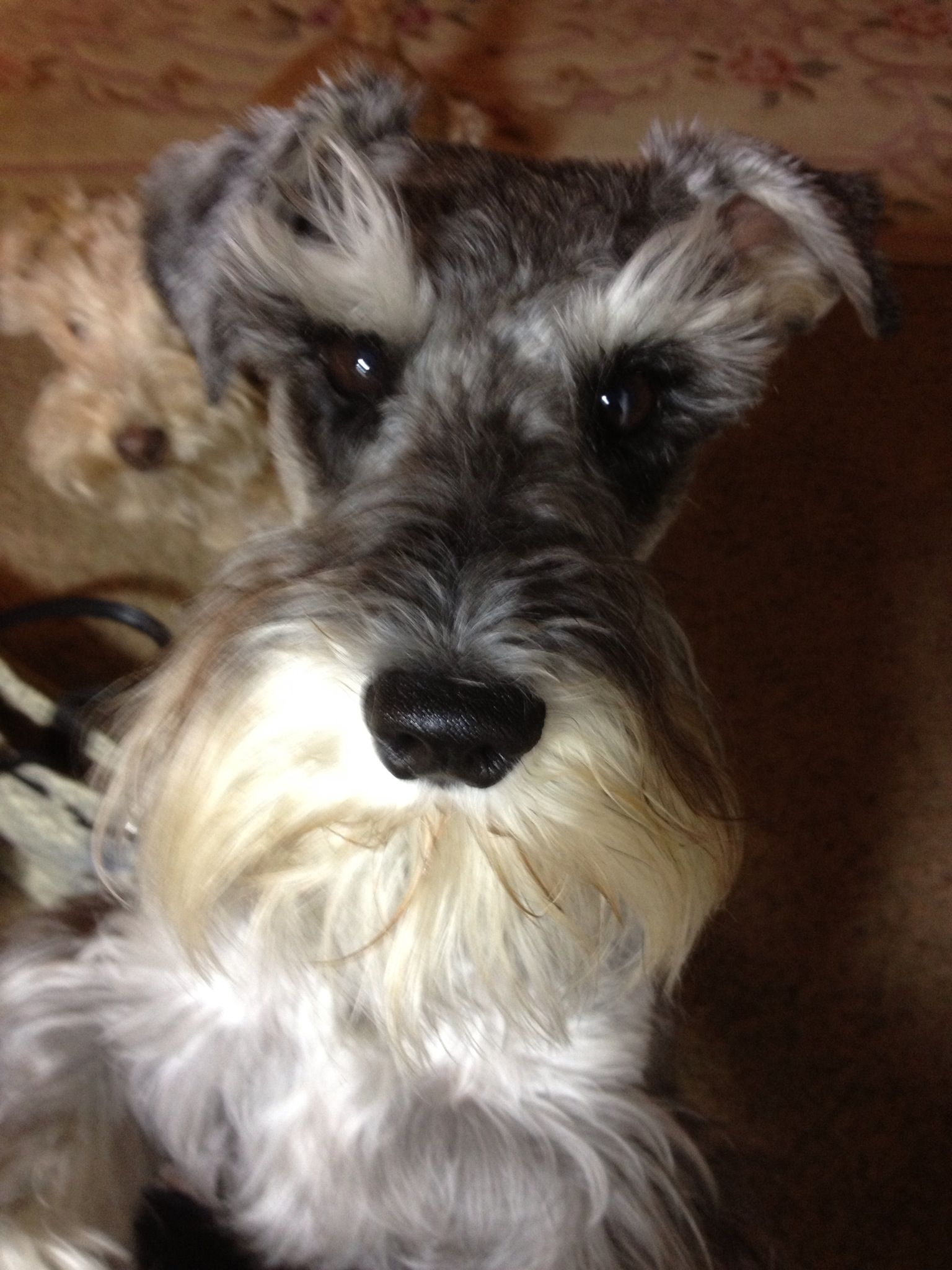 Sweet Little Mini Schnauzer With A Darling Face And Eyes To Melt Your Heart Miniature Schnauzer Schnauzer Puppy Miniature Schnauzer Puppies