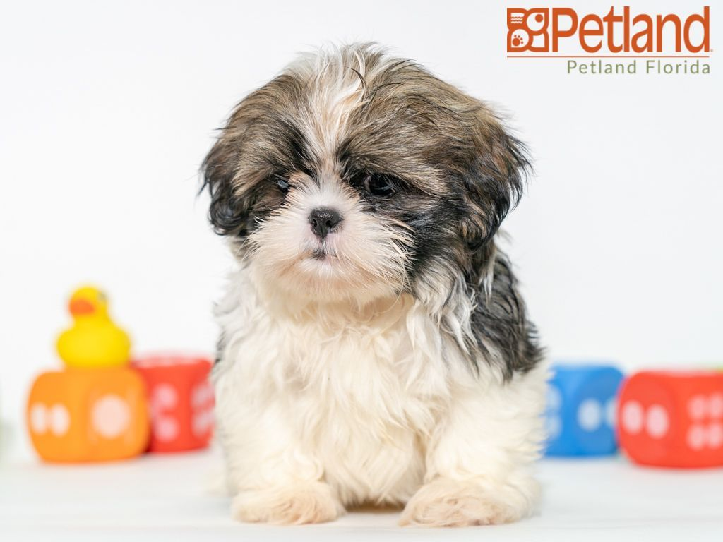 Petland Florida Has Shih Tzu Puppies For Sale Check Out All Our Available Puppies Shihtzu Petlanddavie Petland Pet Shih Tzu Puppy Shih Tzu Puppy Friends