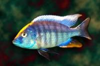 Ovatus Hap Sulfur Head Cichlids African Cichlids Fish Pet