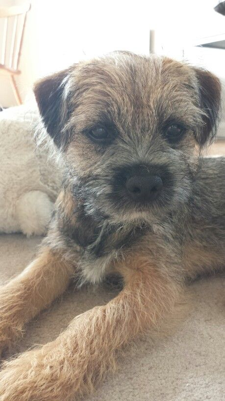 Cuter Than Cute Border Terrier Border Terrier Patterdale