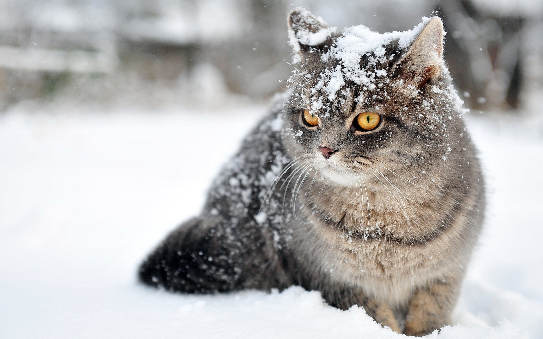 Cat Wallpaper Download Pictures Winter Cat Cats Animals