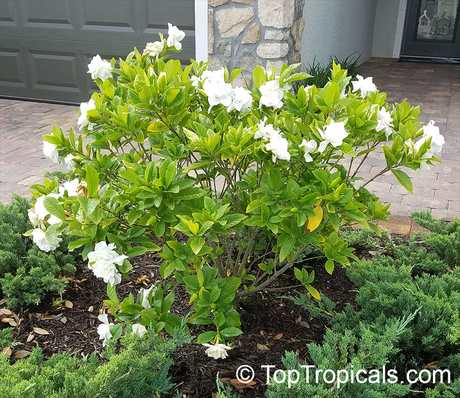 Gardenia Flowers How To Prevent Bud Drop Q My Gardenia Looks Beautiful But The Flowers Fall Off Of It Fast Growing Shade Trees Fragrant Plant Shade Garden
