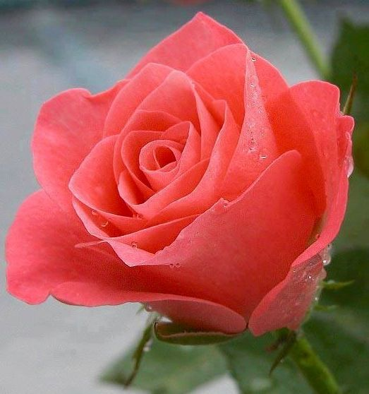 Coral Roses Coral Is The Color Of Desire Enthusiasm And Happiness Just As A Sunrise Varies In Intensity Coral Is Th Beautiful Roses Flowers Pretty Flowers