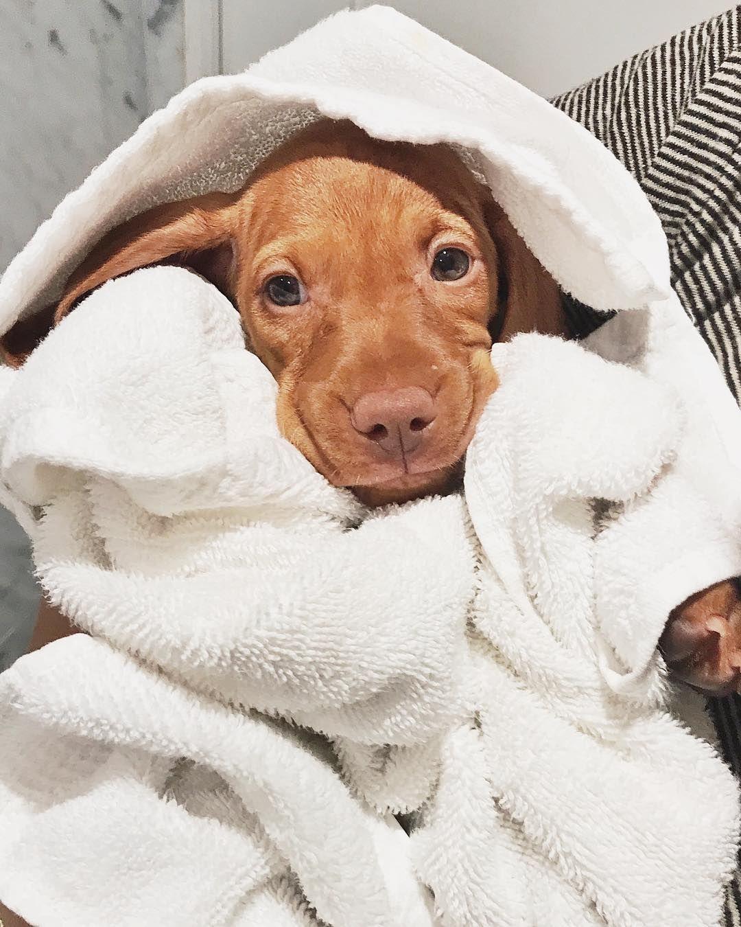 Bathtime Is The Best Time Vizsla Puppies Vizsla Dogs Puppies