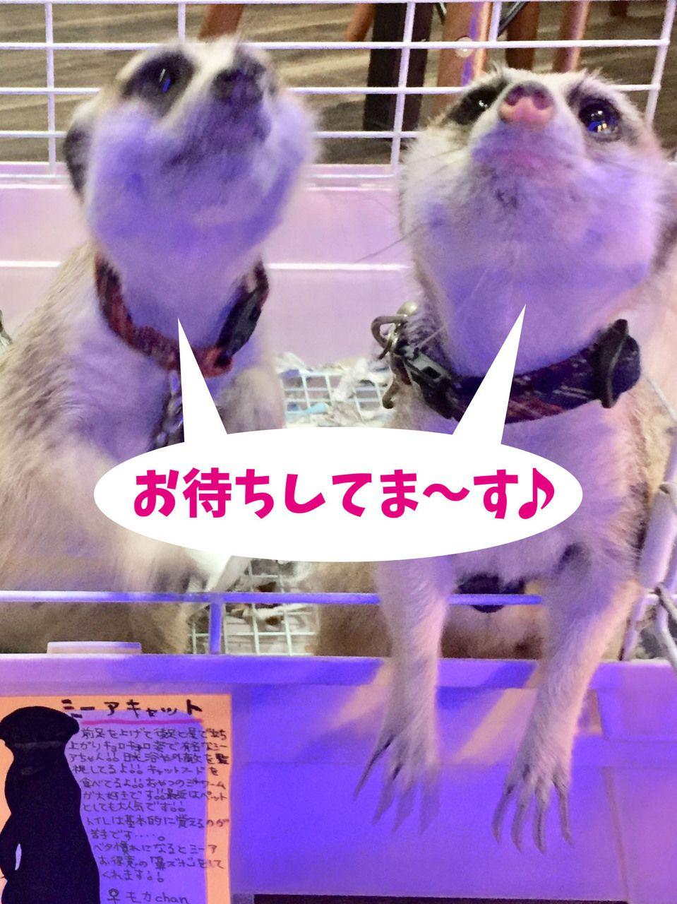 本日も元気に 爬にまるカフェ営業中 です 皆様のご来店を一同心よりお待ちしております O 詳しくは Http Hanimaru Cafe Com 74912 P 593 Fwtype Pin ミーアキャット エキゾチックアニマル 動物