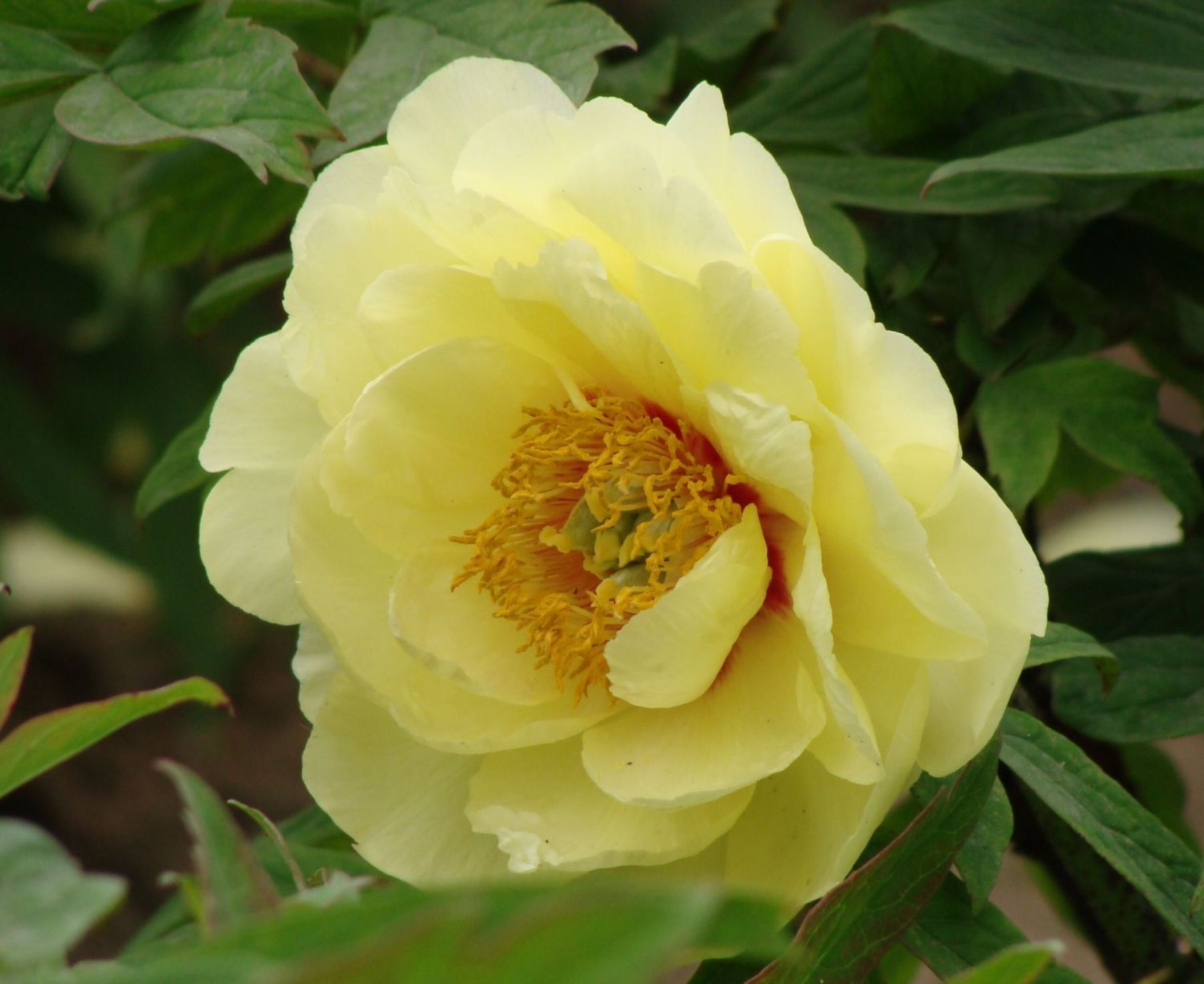 Yellow Flowers Yellow Peony Flower Pictures My Wedding