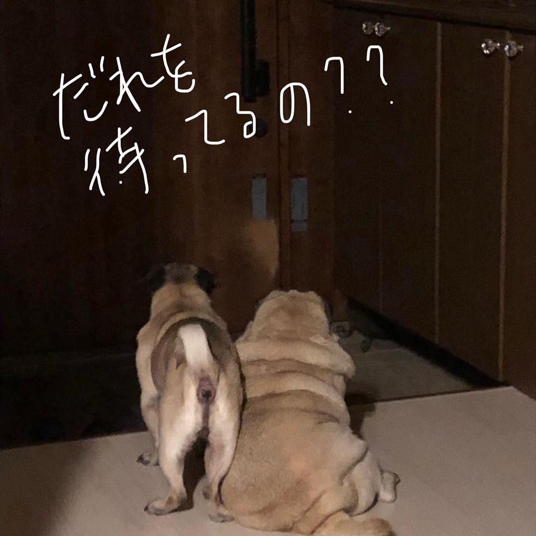 外の気配に飛んでく2人 Pug Pugs Puglove パグ中毒 こと もも 保護犬カフェ西八王子 保護犬カフェ立川店 保護犬を家族に 可愛いーぬ Pugs Dogs Dog Breeds