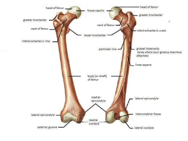 femur bone | Anatomy | Pinterest | Hip joint anatomy, Anatomy bones ...