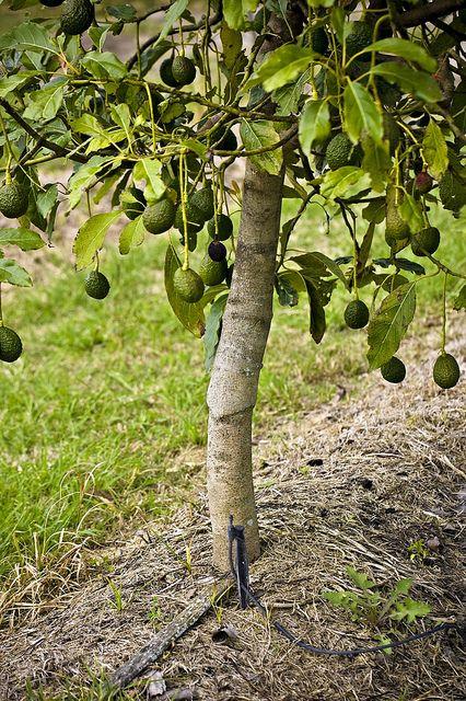 Pin On Mini Fruit Trees