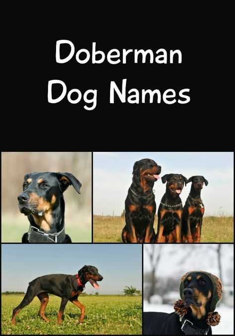 141 Perfect Doberman Names Cute Tough Tenacious More