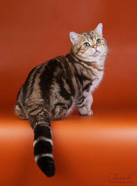 Golden Tabby British British Shorthair Kittens British
