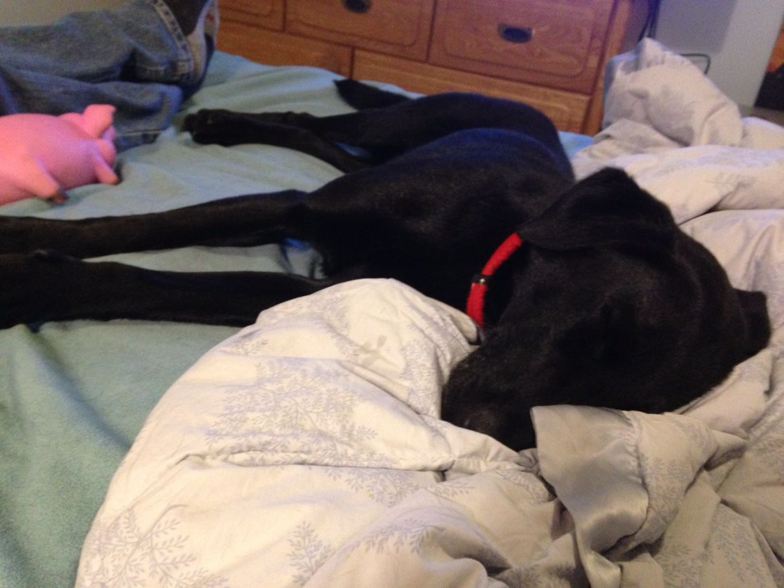 A Whipador Is So Cute Napping On The Bed Looks Like A Black Lab Puppy At 5 Months Old But No He Is 1 To 1 5 Years Old F Black Lab