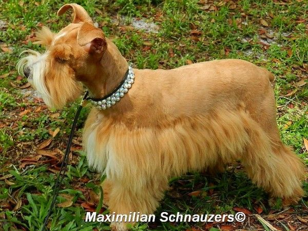 Maximilian schnauzers