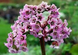Resultado de imagen de waxflowers JUNE