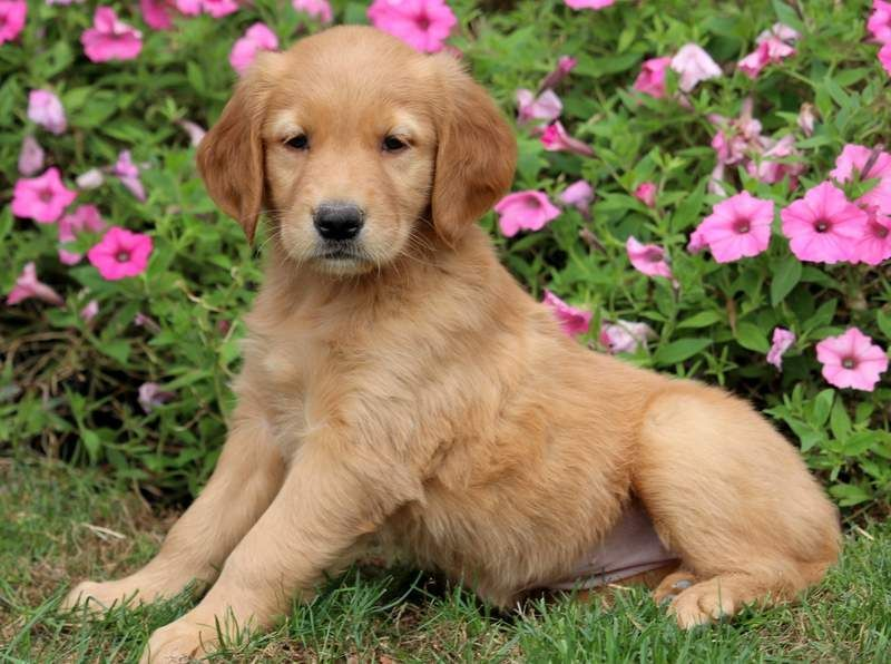 Pumpkin Golden Retrievers Dogs Golden Retriever Retriever