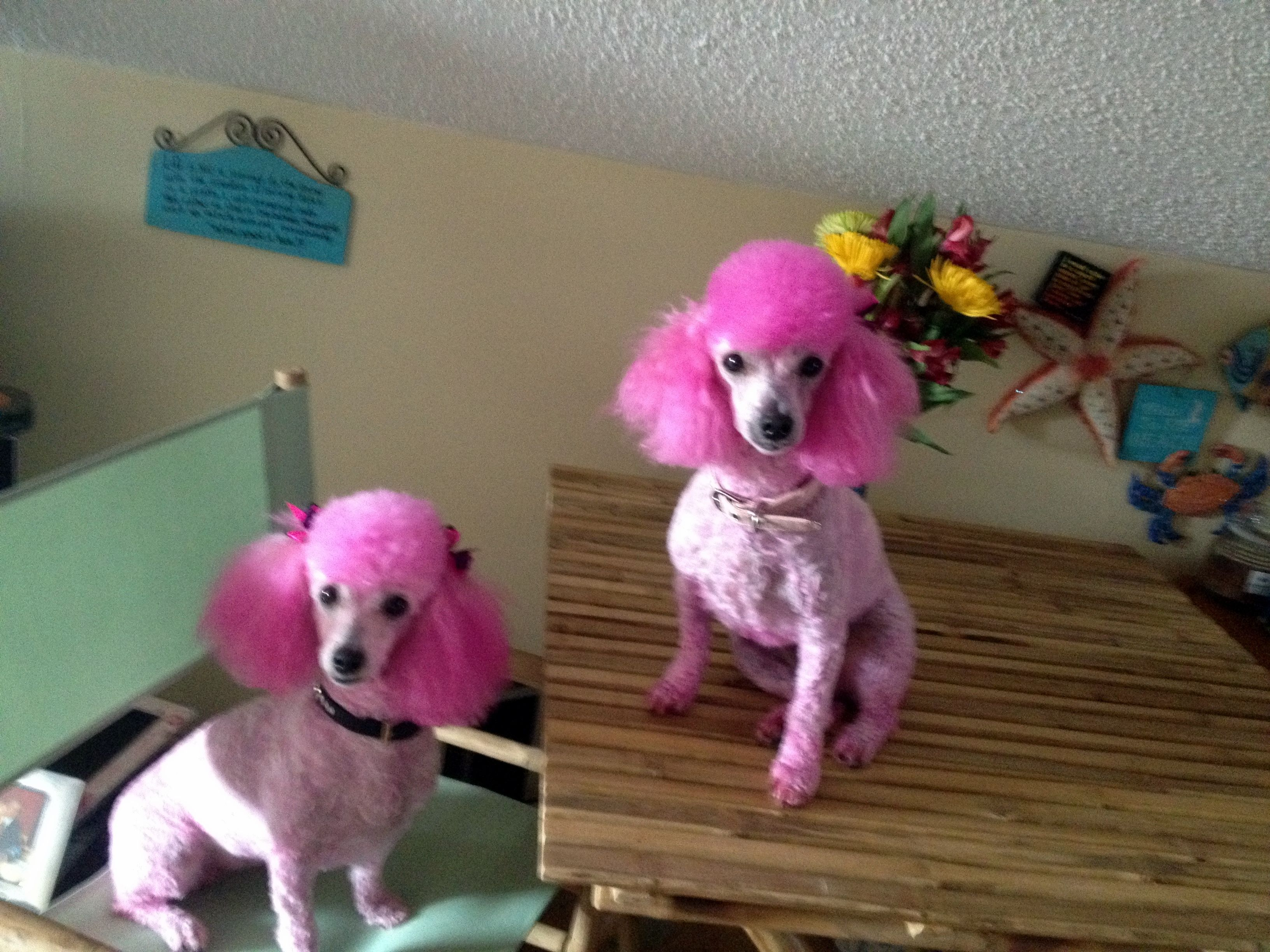 My awesome pink poodles sandee and booboo poodle dogs