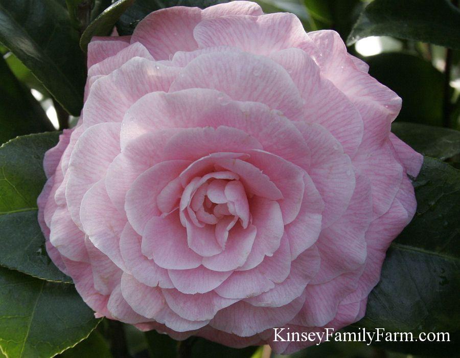 Camellia Shrubs For Sale Georgia Garden In 2020 Shrubs For Sale Plant Nursery Shrubs