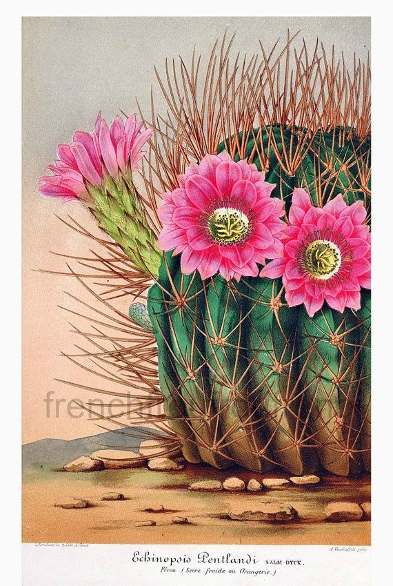 Photo of antique french botanical print pink cactus flower echinopsis illustration digital download