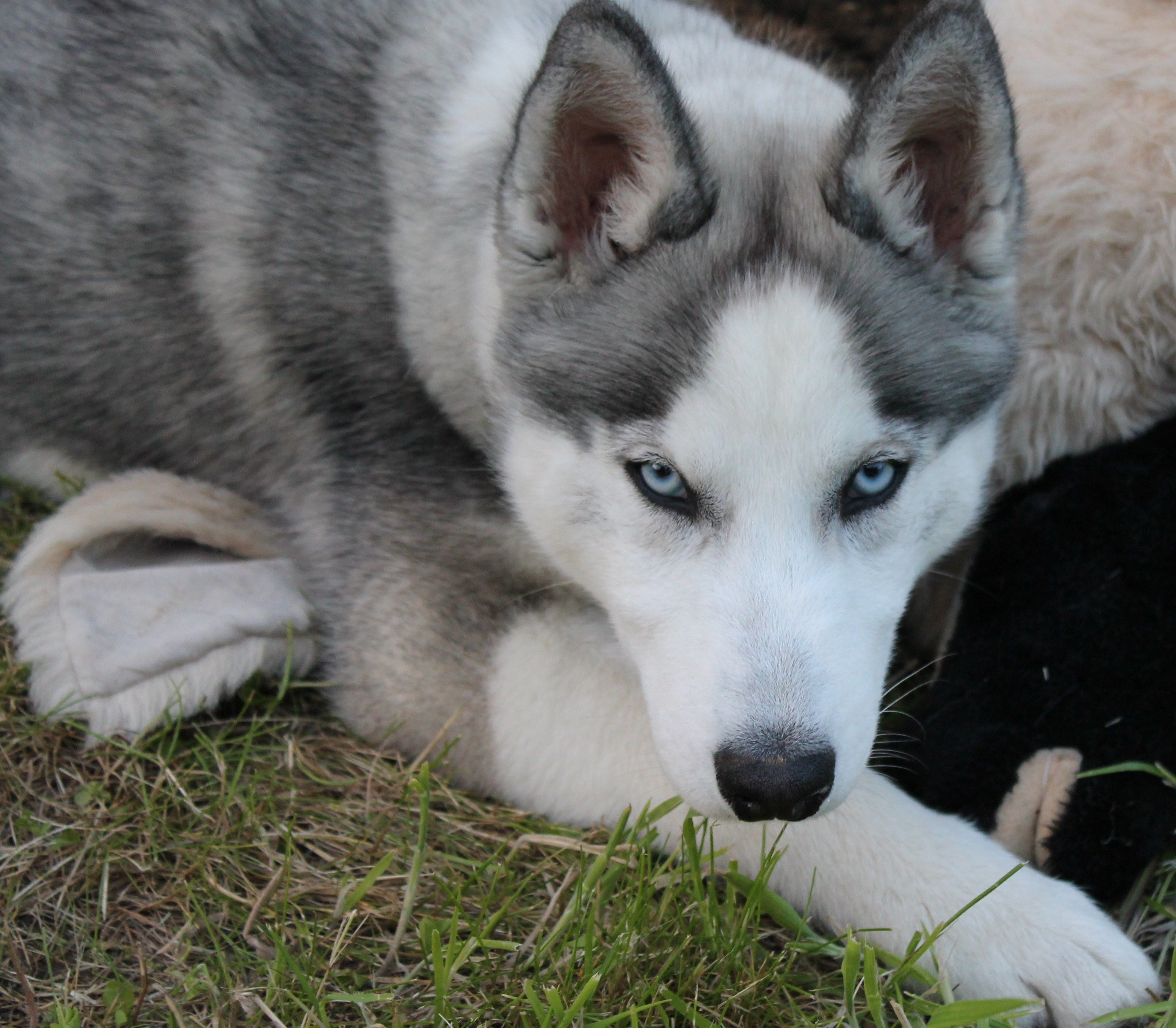 Siberian Husky Wolf Grey Google Search Siberian Husky Animals