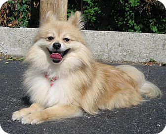 Hobart In Pomeranian Mix Meet 16676 A Dog For Adoption Dieren