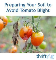f40d514976b787309e044a25bb0ef11f - How To Get Rid Of Late Blight On Tomatoes