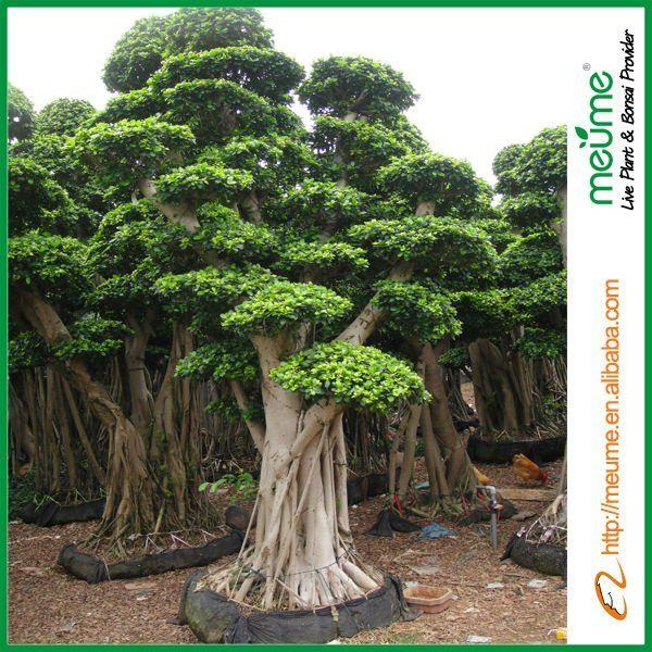 Ficus Bonsai Trees Banyan Tree Large Outdoor Bonsai Trees Ficus