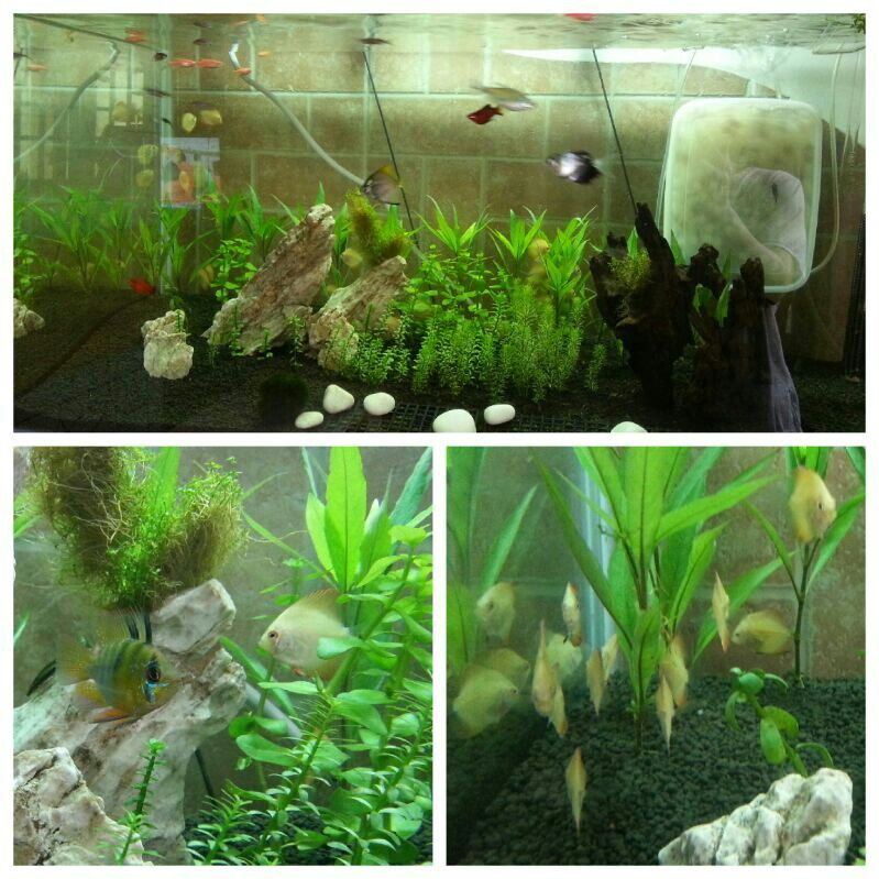 Red melon discus babies Discus, Freshwater fish, Fresh water