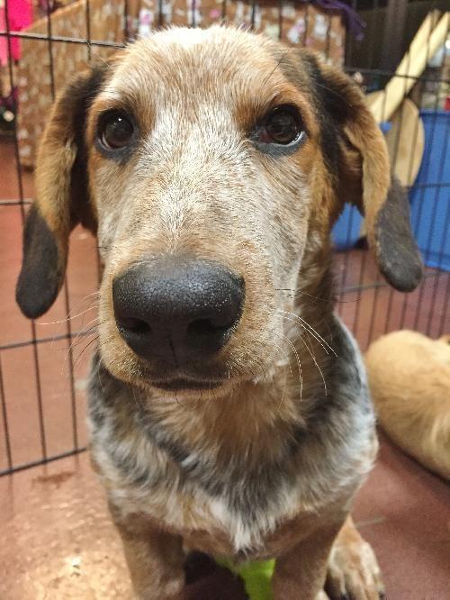 Adopted Cody Basset Hound Australian Cattle Dog Blue Heeler