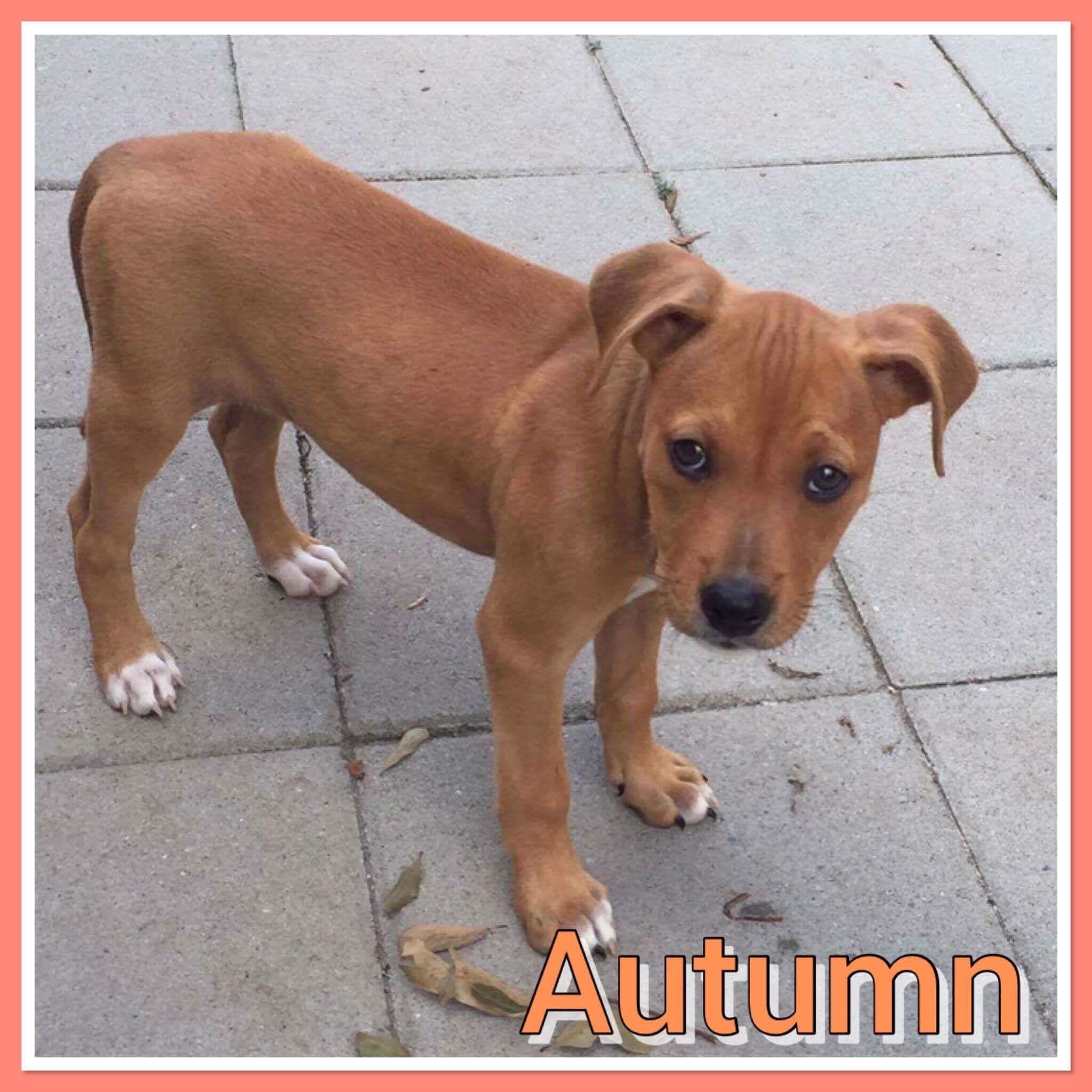 Bullboxer Pit Dog For Adoption In Pomfret Ct Adn 667215 On Puppyfinder Com Gender Female Age Baby Pit Dog Dog Adoption Dogs