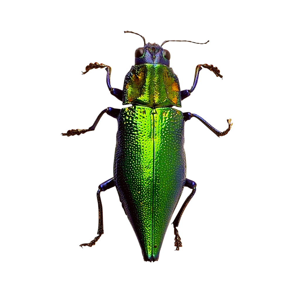 free download high quality beetle png insects image